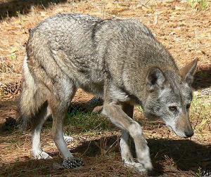 Red wolf stalking