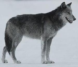 Gray wolf standing in road
