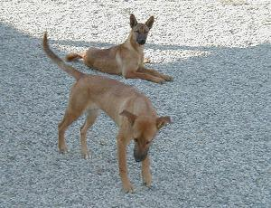 Carolina dog or American dingo
