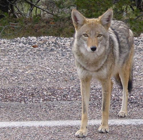 Coyote standing in road