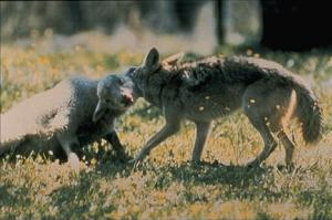 Coyote attacking a sheep