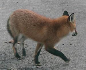 Red fox turning away