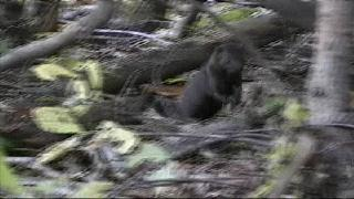 Mink leaping through underbrush