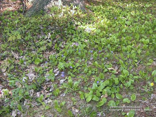 Violets beside the trail