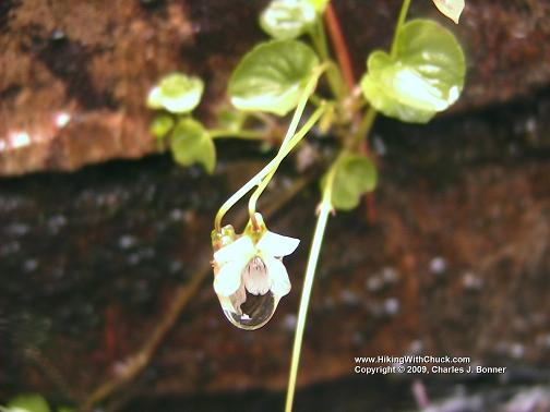 Unknown white violet in raindrop