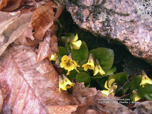 Eastern roundleaf yellow violet