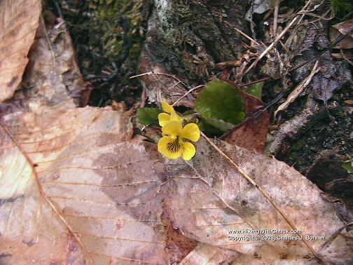 Eastern roundleaf yellow violet.